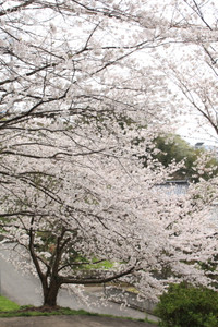 Sasayamasakura01
