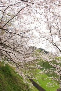 Sasayamasakura04