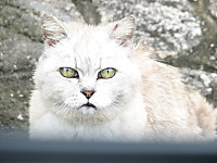 Japanese_cats_991