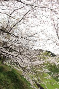 Sasayamasakura03